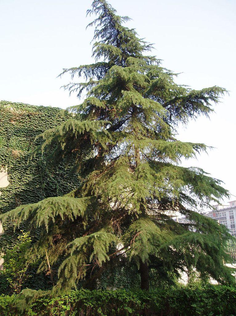 Il Cedro dell'Himalaya Crediti: Wikipedia