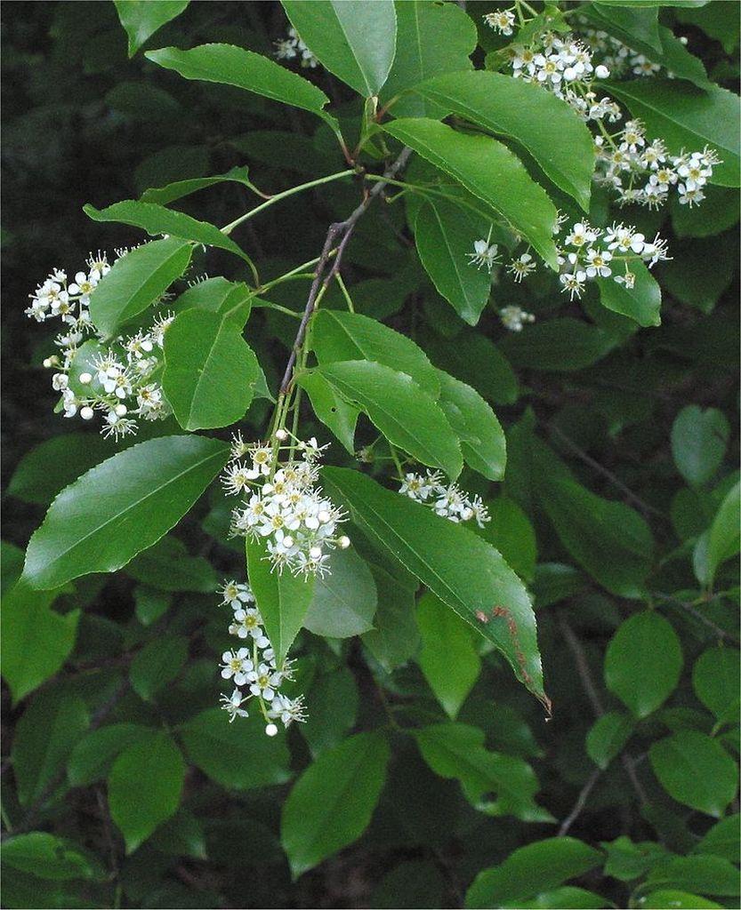 Fiori e foglie. Crediti: Wikipedia